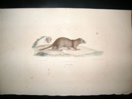Saint Hilaire & Cuvier C1830 Folio Hand Colored Print. Otter